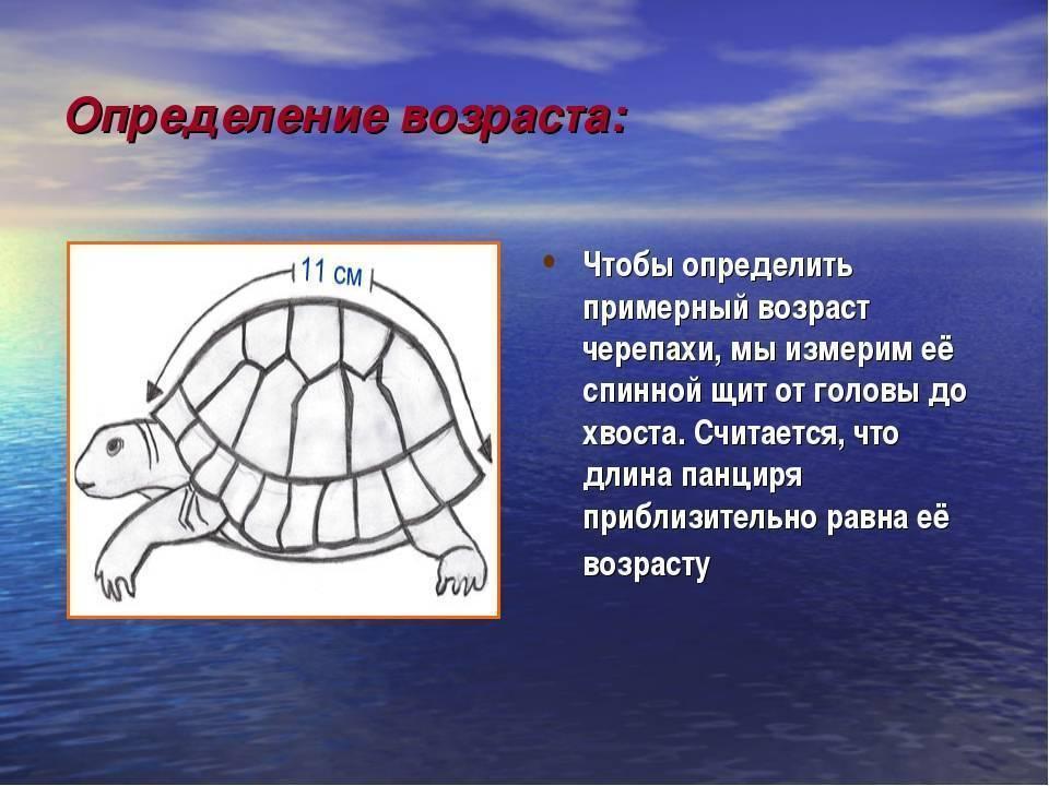 Какова продолжительность жизни или сколько живут черепахи