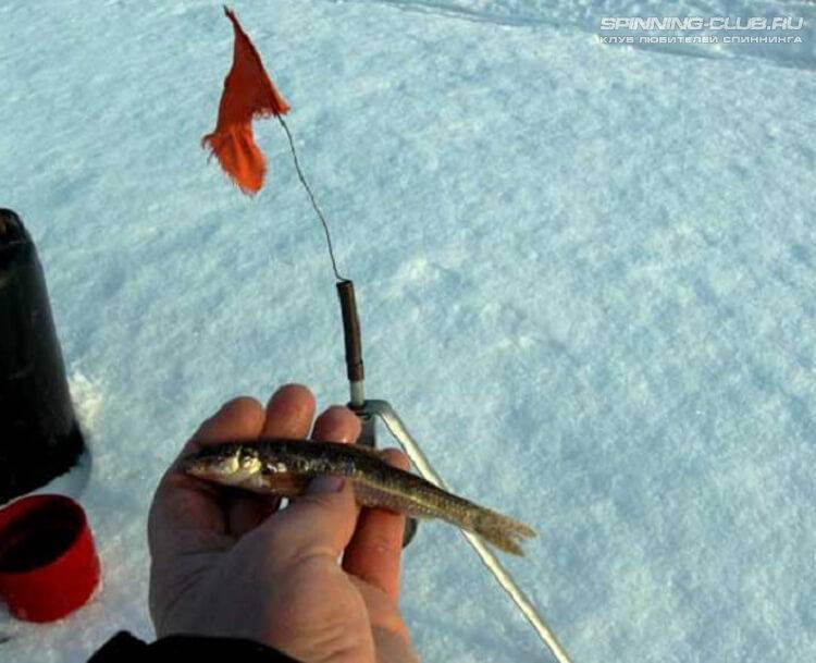 Ловля судака на жерлицы зимой