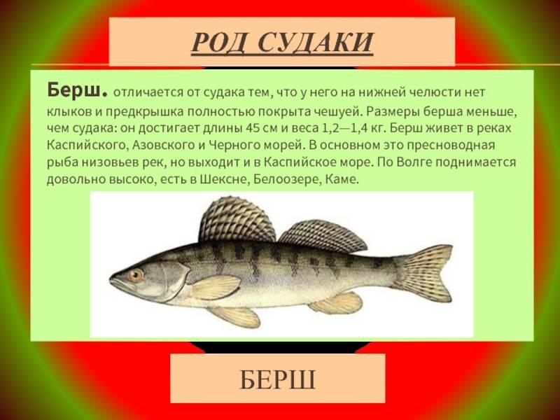 Рыба берш: особенности его ловли и отличия от судака