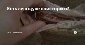 В какой рыбе бывает описторхоз и как убить паразита