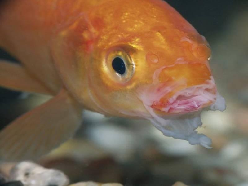 Заболевания глаз у аквариумных рыб, фото заболевания глаз у аквариумных рыб, роговичные язвы отек роговицы катаракта рыб экзофтальмия потеря глаза рыбка без глаза лечение, болезни аквариумных рыб, фот