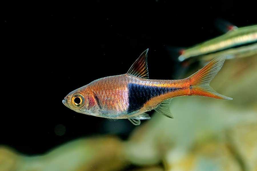 Расбора гетероморфа: внешний вид, содержание и размножение рыбки, уход за ней