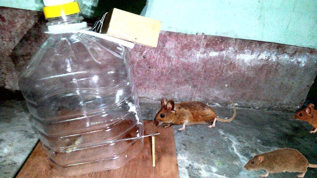 Как сделать мышеловку: рейтинг лучших моделей и советы как поймать мышь своими руками (115 фото и видео)