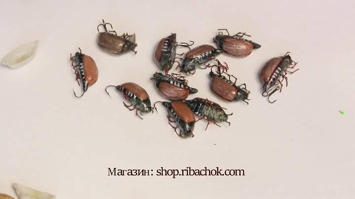 Польза и вред от майского жука, фото, описание, как избавиться от личинок