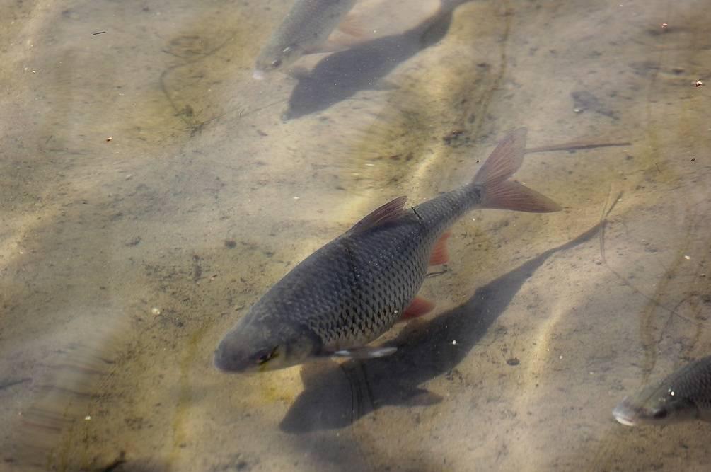 Какая рыба ивкаких местах мечет икру зимой