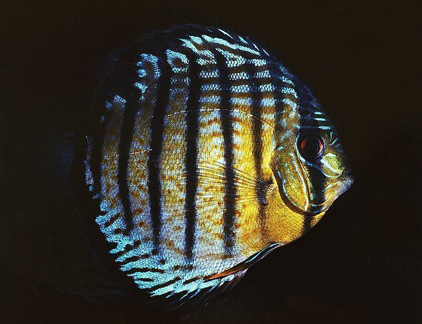 Рыбы гибриды – рыбалке.нет