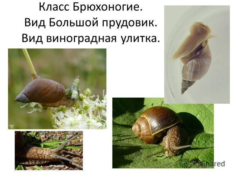 Улитка прудовик: где обитает, как дышит и чем питается моллюск, размножение и болезни