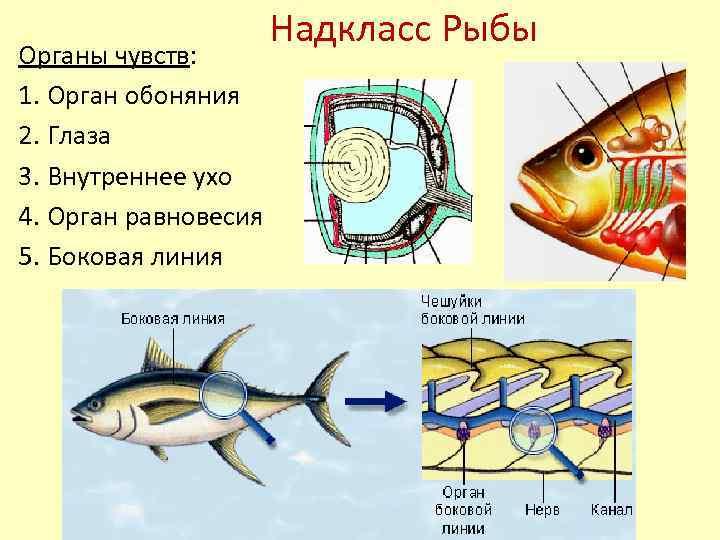Органы чувств у рыб