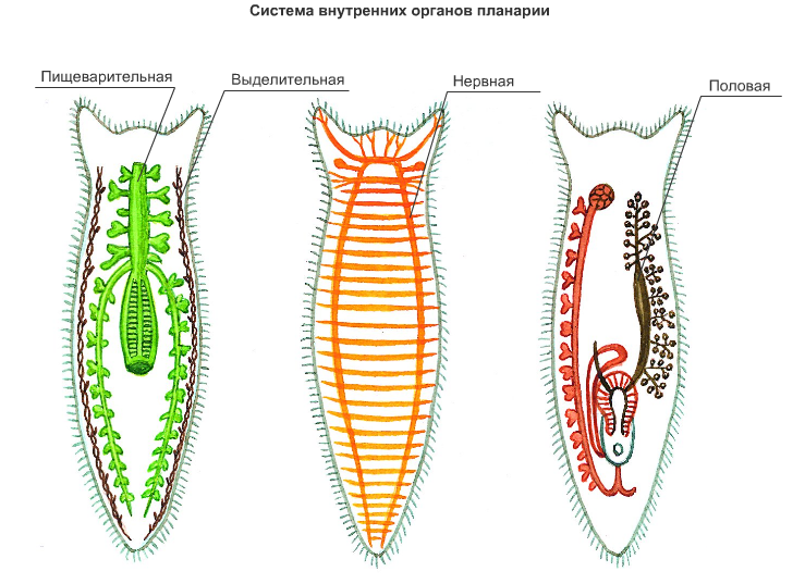 Белая планария (planariidae): строение, симптомы, образ жизни - шаг к здоровью