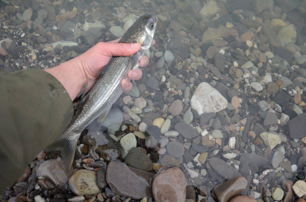 Как ловят кефаль? – рыбалке.нет