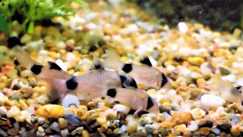Особенности содержания крапчатых сомиков в аквариуме