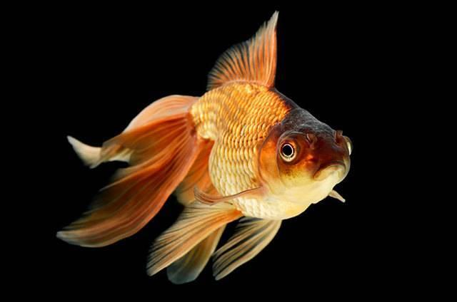 Астронотус: фото, содержание и уход в аквариуме