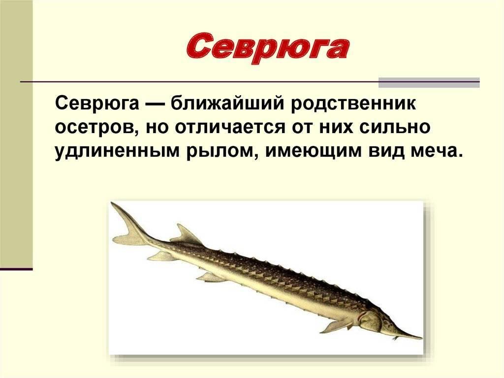 Визуальное отличие стерляди от бестера. стерлядь рыба