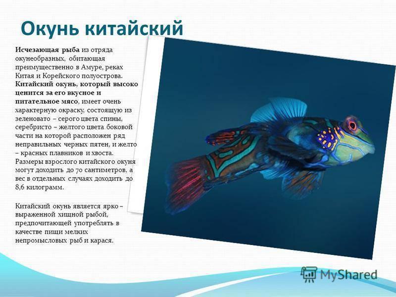 Окунь речной: фото рыбы, интересные факты - вся медицина
