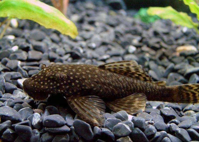 Сомики анциструсы обыкновенные (рыбка прилипала): содержание, уход, разведение, виды, описание