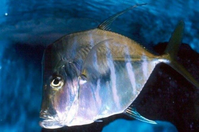 Описание и фото рыбы вьюн
