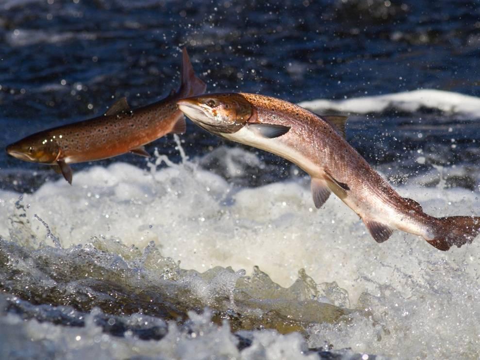 Почему беларусские водоёмы зарыбляют карпом?