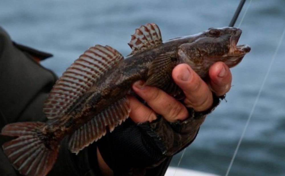 Рыба бычок. описание, особенности, виды, образ жизни и среда обитания рыбы бычок