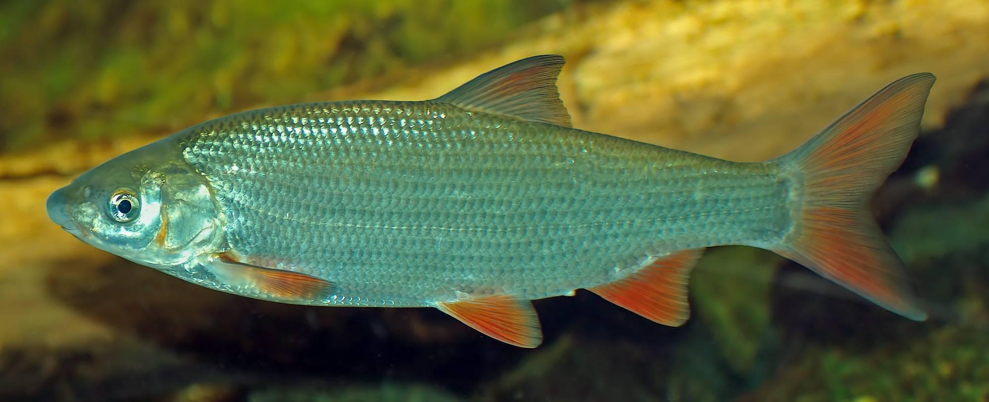 Подуст — описание рыбы, особенности техники, тактики и рекомендации по ловле (90 фото + видео)
