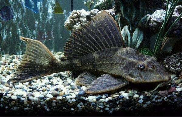 Акулий сом пангасиус содержание в аквариуме, фото-видео обзор