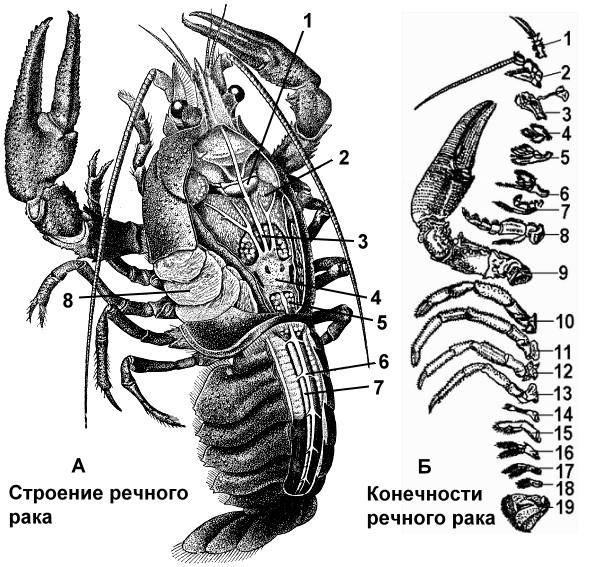 Биология: внешнее и внутреннее строение речного рака :: syl.ru