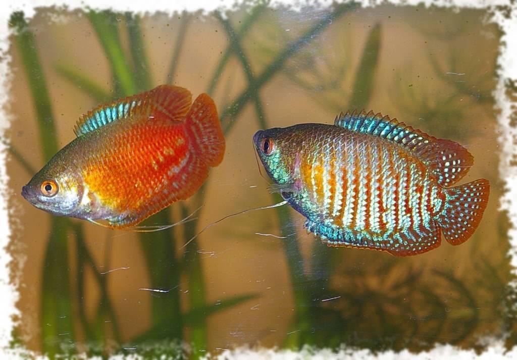 Аквариумная рыбка лялиус: уход, содержание, нерест, фото, видео