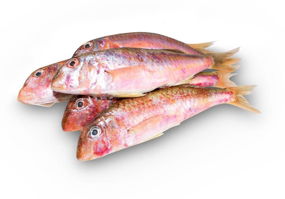 Черноморская барабулька (обыкновенная султанка): описание, фото, рыбалка