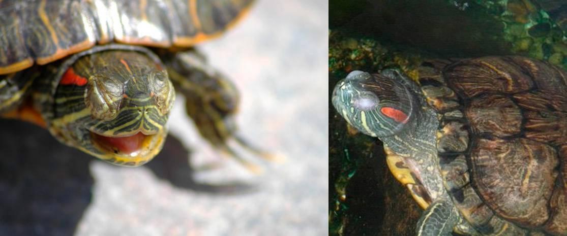 Красноухая черепаха: уход и кормление в домашних условиях