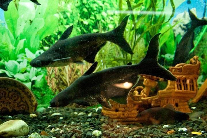 Акулий сом пангасиус — содержание в аквариуме.