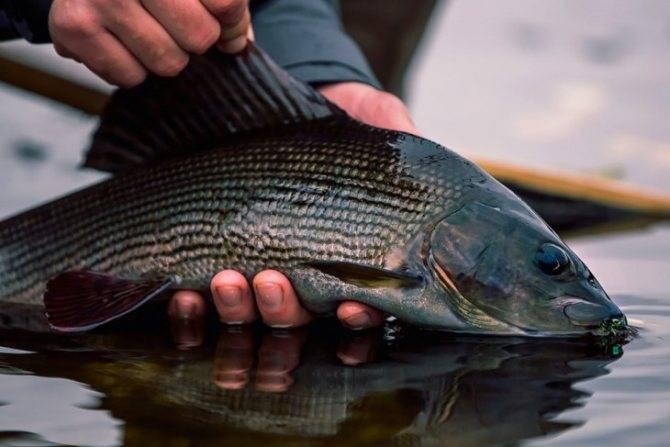 Что за рыба хариус и как она выглядит?