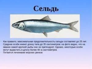 Сельдь рыба. образ жизни и среда обитания сельди