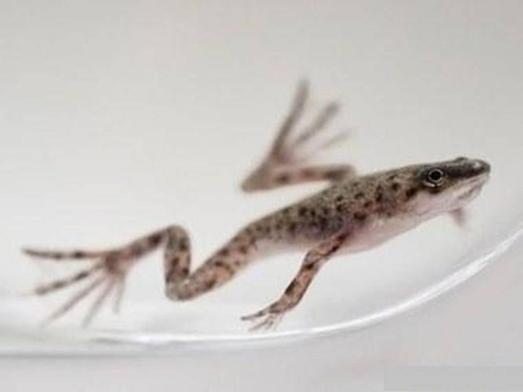 Шпорцевые лягушки, или как оживить жизнь аквариума? содержание и уход, фото — ботаничка.ru