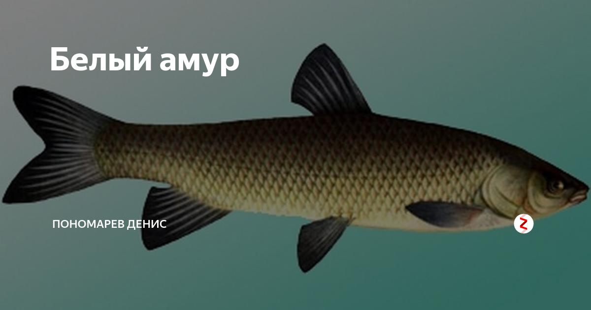 Белый амур ctenopharyngodon idella
