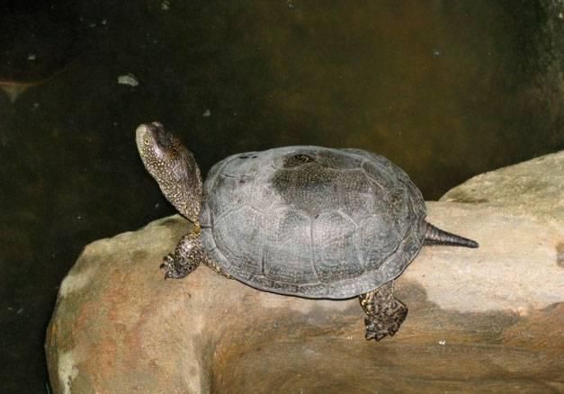Болотная черепаха: как выглядит, где живет, чем питается, как зимует