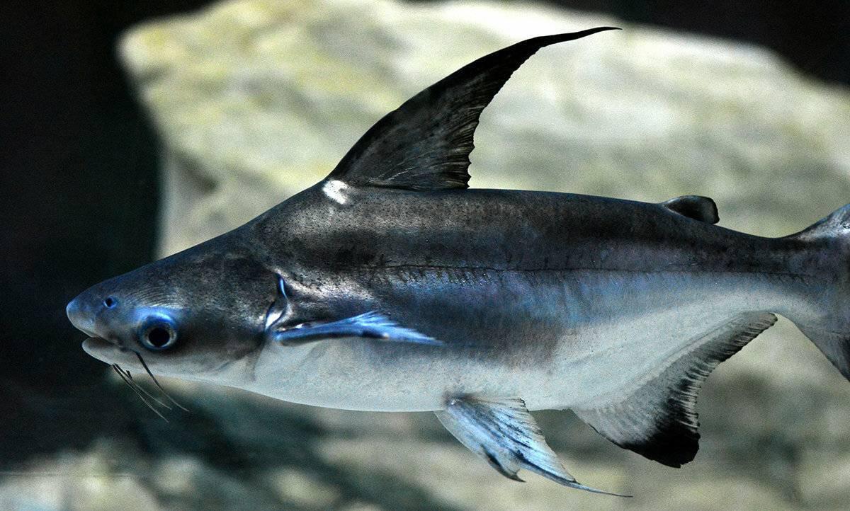 Аквариумная рыбка - акулий сом. описание, содержание, болезни :: syl.ru