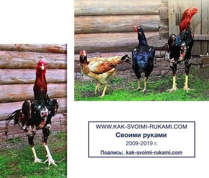 Староанглийская бойцовая порода кур – описание, фото и видео