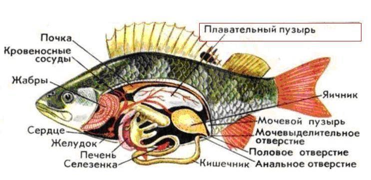 Морской и речной окунь - польза для кулинарии, пищевая ценность