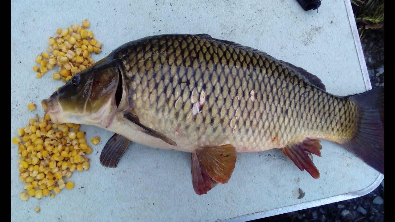 Как приготовить кукурузу для рыбалки: рецепты, виды, способы