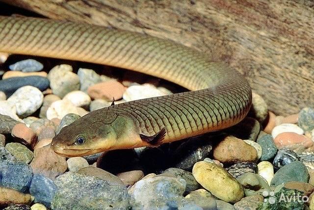 Аквариумные рыбы-змеи: разновидности, выбор, уход, размножение