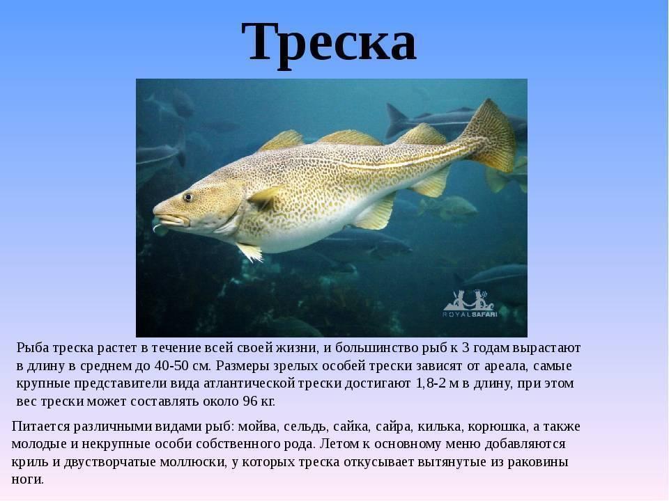 Рыба пикша: калорийность, польза и вред, фото