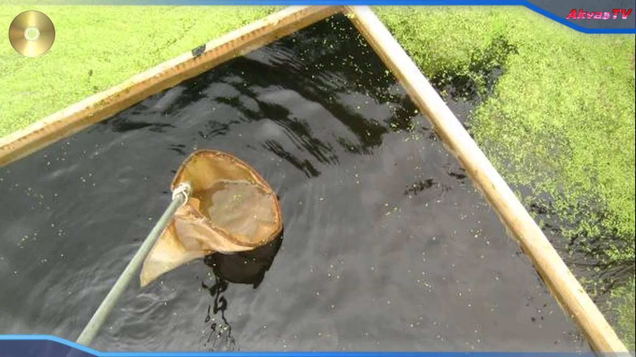 Дафнии корм для рыб: разведение в домашних условиях