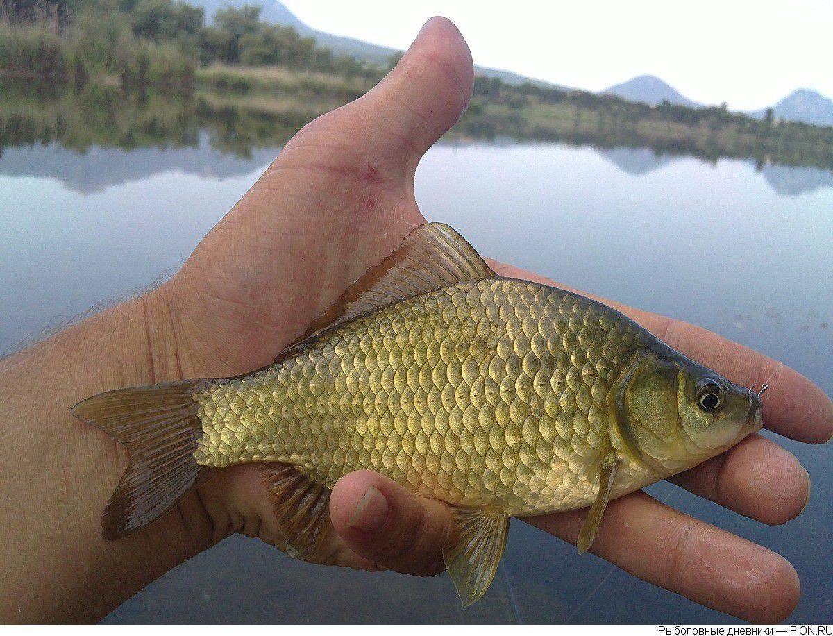 Рыба карась — польза и вред для организма