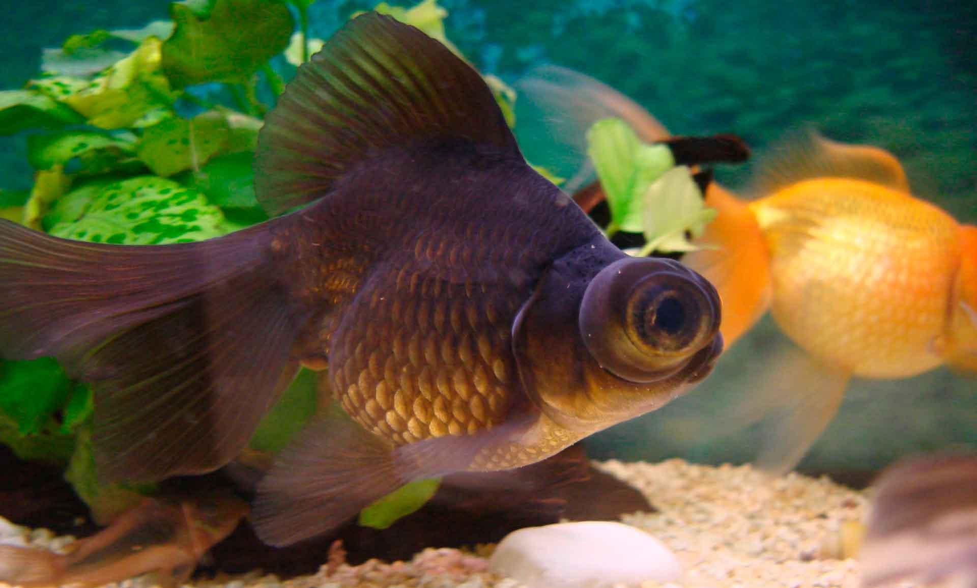 Рыбка телескоп - какое отношение имеет к золотой рыбке, уход и содержание, с кем уживается в аквариуме