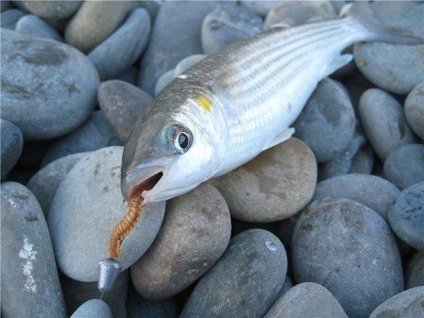 Что за рыба кефаль: где водится, особенности строения, чем полезна и как готовить