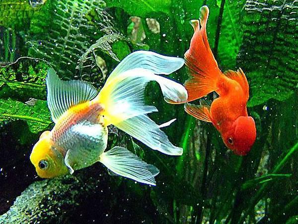 Все об аквариумных золотых рыбках