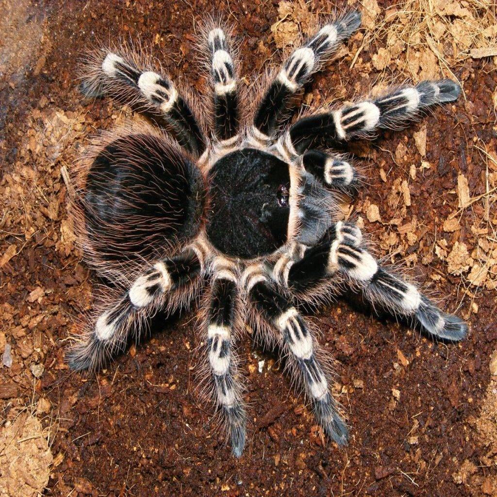 Описание и фото пауков птицеедов