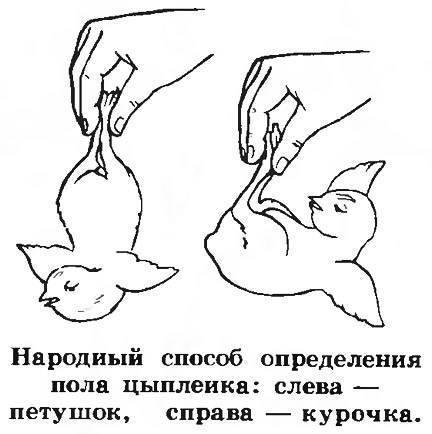Особенности разведения кур породы супер ник