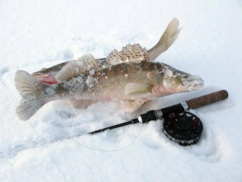 Ловля судака на тюльку зимой: видео, снасть и тактика ловли и блеснения, рыыбалка на каме