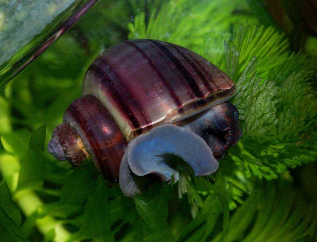 Рогатая улитка билайн содержание в аквариуме, фото-видео обзор