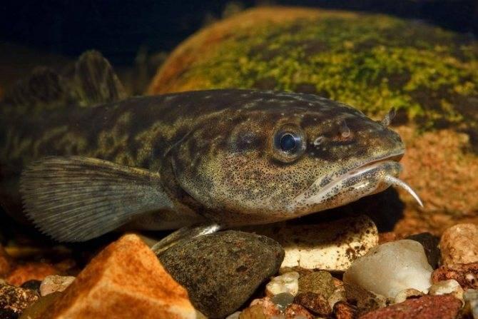 История жизни рыбы налим и способы большого улова